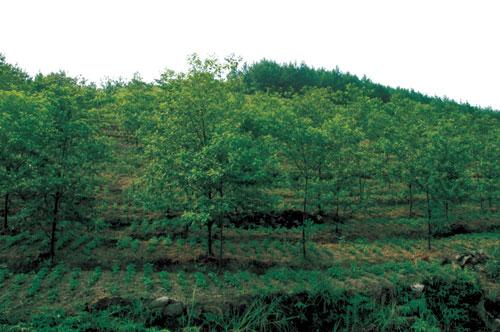 山胡椒种植基地